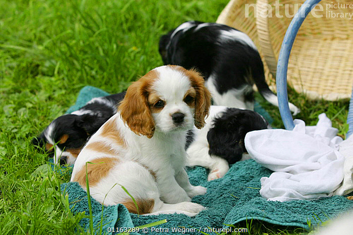 Domestic dog, Cavalier King Charles Spaniel puppy among sleeping pups (Blenheim and tricolor) 8 weeks old  ,  BABIES,BABY,CUTE,DOGS,JUVENILE,OUTDOORS,PEDIGREE,PETS,PUPPIES,PUPPY,TOY DOGS,VERTEBRATES,Canids  ,  Petra Wegner