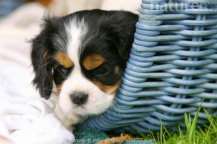 Domestic dog, Cavalier King Charles Spaniel puppy (tricolor) in basket, 8 weeks old  ,  BABIES,BABY,CUTE,DOGS,FACES,JUVENILE,OUTDOORS,PEDIGREE,PETS,PUPPIES,PUPPY,TOY DOGS,VERTEBRATES,Canids  ,  Petra Wegner