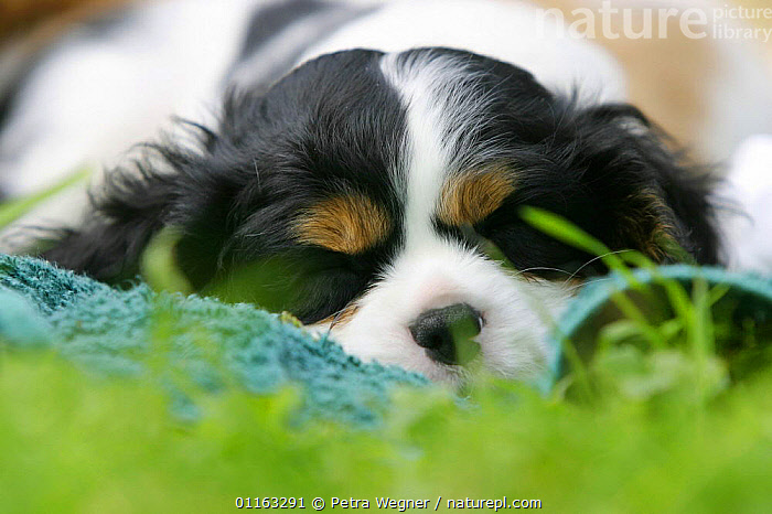 Domestic dog, sleeping Cavalier King Charles Spaniel puppy (tricolor) 8 weeks old  ,  BABIES,BABY,CUTE,DOGS,FACES,JUVENILE,LYING DOWN,OUTDOORS,PEDIGREE,PETS,PUPPIES,PUPPY,TOY DOGS,VERTEBRATES,Canids  ,  Petra Wegner