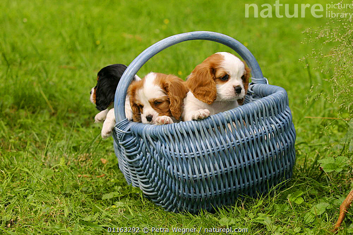Domestic dog, three Cavalier King Charles Spaniel puppies in basket (Blenheim and tricolor) 8 weeks old  ,  BABIES,BABY,CUTE,DOGS,FRIENDS,JUVENILE,OUTDOORS,PEDIGREE,PETS,PUPPIES,PUPPY,TOY DOGS,VERTEBRATES,Canids  ,  Petra Wegner