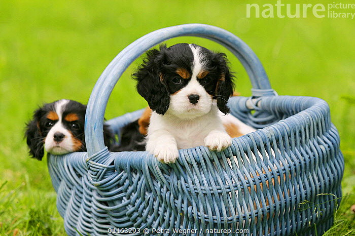 Domestic dog, Cavalier King Charles Spaniel puppy (tricolor) in basket, 8 weeks old  ,  BABIES,BABY,CUTE,DOGS,FRIENDS,JUVENILE,OUTDOORS,PEDIGREE,PETS,PUPPIES,PUPPY,TOY DOGS,VERTEBRATES,Canids  ,  Petra Wegner