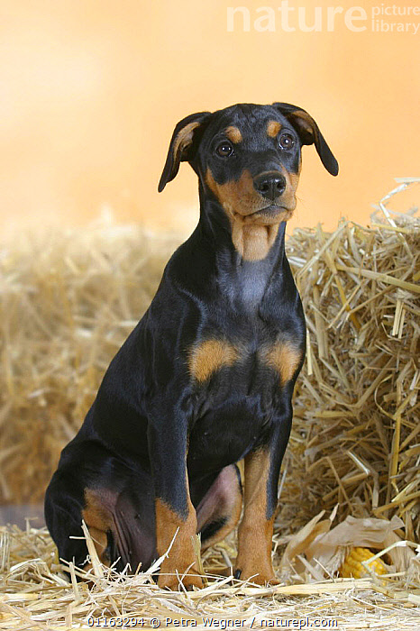 Domestic dog, German Pinscher puppy, 10 weeks old  ,  BABIES,BABY,CUTE,DOGS,JUVENILE,PEDIGREE,PETS,PUPPIES,PUPPY,SITTING,STANDING,UTILITY,VERTEBRATES,VERTICAL,WORKING,Canids  ,  Petra Wegner