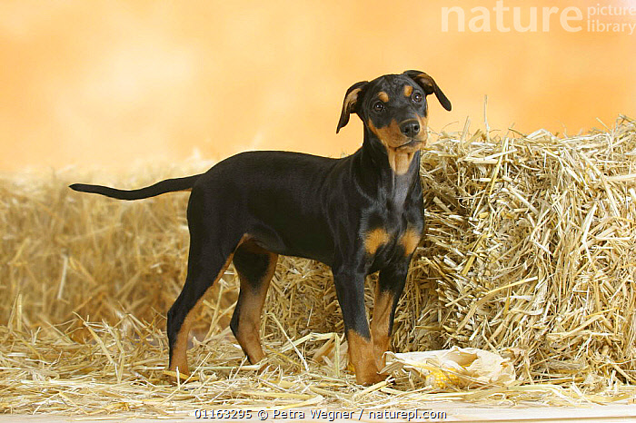 Domestic dog, German Pinscher puppy, 10 weeks old  ,  BABIES,BABY,CUTE,DOGS,JUVENILE,PEDIGREE,PETS,PUPPIES,PUPPY,STANDING,UTILITY,VERTEBRATES,WORKING,Canids  ,  Petra Wegner