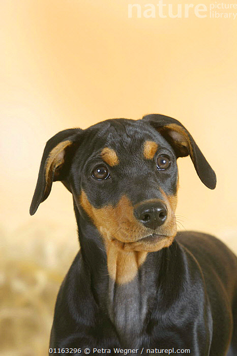 Domestic dog, German Pinscher puppy, 10 weeks old  ,  BABIES,BABY,CUTE,DOGS,FACES,HEADS,JUVENILE,PEDIGREE,PETS,PUPPIES,PUPPY,UTILITY,VERTEBRATES,VERTICAL,WORKING,Canids  ,  Petra Wegner
