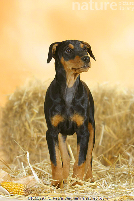 Domestic dog, German Pinscher puppy, 10 weeks old  ,  BABIES,BABY,CUTE,DOGS,JUVENILE,PEDIGREE,PETS,PUPPIES,PUPPY,STANDING,UTILITY,VERTEBRATES,VERTICAL,WORKING,Canids  ,  Petra Wegner