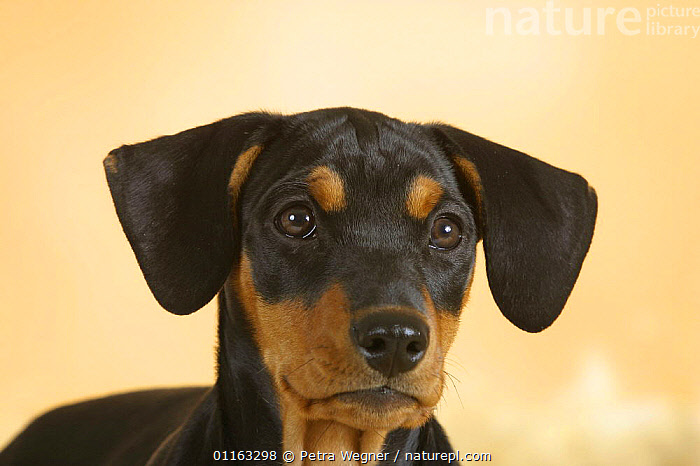 Domestic dog, German Pinscher puppy, 10 weeks old  ,  BABIES,BABY,CUTE,DOGS,EARS,FACES,JUVENILE,PEDIGREE,PETS,PUPPIES,PUPPY,UTILITY,VERTEBRATES,WORKING,Canids  ,  Petra Wegner