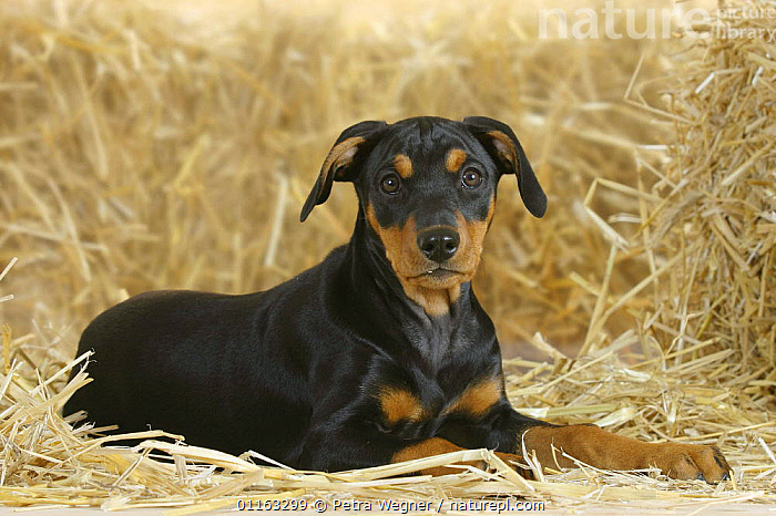 Domestic dog, German Pinscher puppy, 10 weeks old  ,  BABIES,BABY,CUTE,DOGS,JUVENILE,PEDIGREE,PETS,PUPPIES,PUPPY,UTILITY,VERTEBRATES,WORKING,Canids  ,  Petra Wegner
