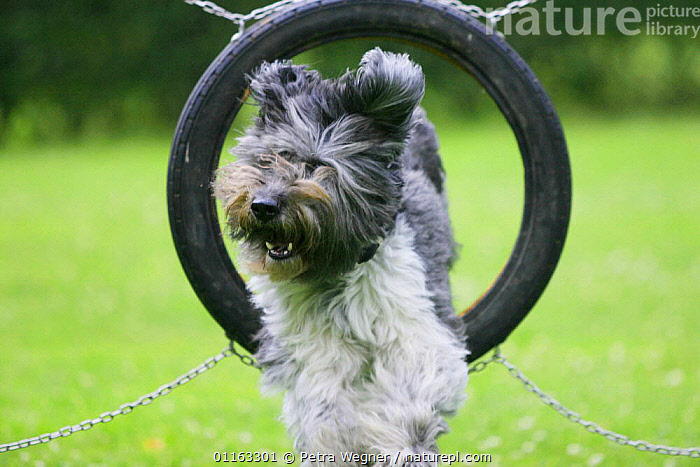 Domestic dog, Schapendoes jumping through tyre  ,  ACTION,AGILITY,ASSAULT COURSE,CUTE,DOGS,OUTDOORS,PASTORAL,PEDIGREE,PETS,TRAINING COURSE,VERTEBRATES,Canids  ,  Petra Wegner