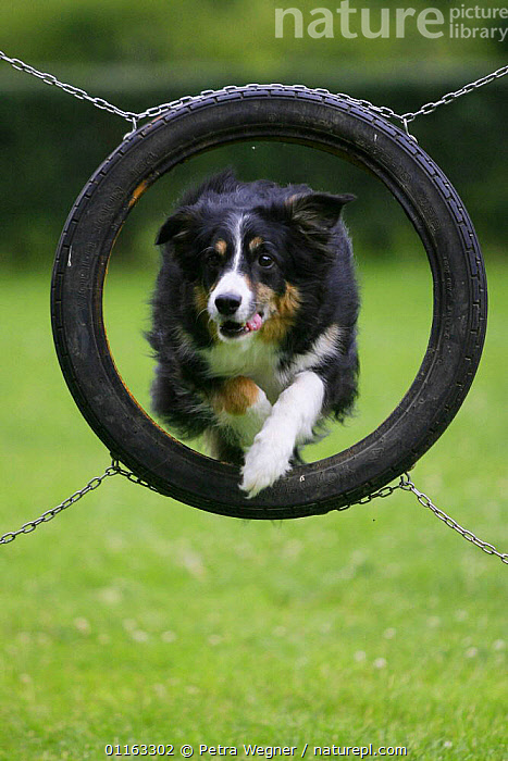 Domestic dog, Border Collie jumping through tyre  ,  ACTION,AGILITY,ASSAULT COURSE,DOGS,OUTDOORS,PASTORAL,PEDIGREE,PETS,TRAINING,TRAINING COURSE,VERTEBRATES,VERTICAL,Canids  ,  Petra Wegner