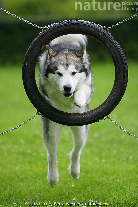 Domestic dog, Alaskan Malamute jumping through tyre  ,  ACTION,AGILITY,ASSAULT COURSE,DOGS,OUTDOORS,PEDIGREE,PETS,TRAINING,TRAINING COURSE,UTILITY,VERTEBRATES,VERTICAL,WORKING,Canids  ,  Petra Wegner