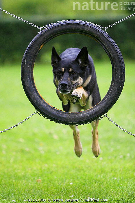 Domestic dog, German Shepherd / Alsatian jumping through tyre  ,  ACTION,AGILITY,ASSAULT COURSE,DOGS,OUTDOORS,PASTORAL,PEDIGREE,PETS,TRAINING,TRAINING COURSE,VERTEBRATES,VERTICAL,Canids  ,  Petra Wegner