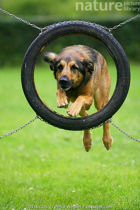 Domestic dog, Mixed Breed Dog jumping through tyre  ,  ACTION,AGILITY,ASSAULT COURSE,DOGS,HALF BREED,MONGREL,MUTT,OUTDOORS,PEDIGREE,PETS,TRAINING,TRAINING COURSE,VERTEBRATES,VERTICAL,Canids  ,  Petra Wegner