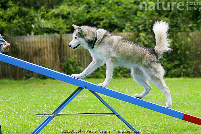 Domestic dog, Alaskan Malamute on seesaw  ,  AGILITY,ASSAULT COURSE,DOGS,OUTDOORS,PEDIGREE,PETS,TRAINING,TRAINING COURSE,UTILITY,VERTEBRATES,WORKING,Canids  ,  Petra Wegner