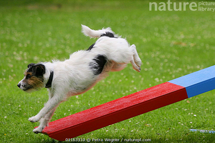 Domestic dog, Jack Russell Terrier running off seesaw  ,  ACTION,AGILITY,ASSAULT COURSE,DOGS,OUTDOORS,PEDIGREE,PETS,TERRIERS,TRAINING,TRAINING COURSE,VERTEBRATES,Canids  ,  Petra Wegner