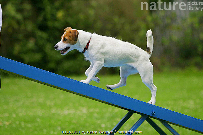 Domestic dog, Jack Russell Terrier on seesaw  ,  AGILITY,ASSAULT COURSE,DOGS,OUTDOORS,PEDIGREE,PETS,TERRIERS,TRAINING,TRAINING COURSE,VERTEBRATES,Canids  ,  Petra Wegner