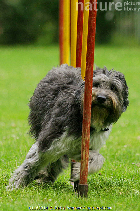 Domestic dog, Schapendoes doing the slalom  ,  ACTION,AGILITY,ASSAULT COURSE,DOGS,OUTDOORS,PASTORAL,PEDIGREE,PETS,TRAINING,TRAINING COURSE,VERTEBRATES,VERTICAL,Canids  ,  Petra Wegner