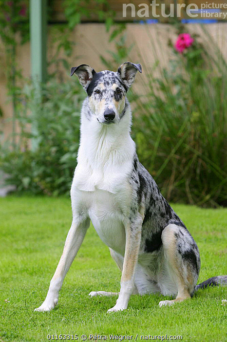 Domestic dog, blue merle Smooth Collie  ,  DOGS,OUTDOORS,PASTORAL,PEDIGREE,PETS,SITTING,STANDING,VERTEBRATES,VERTICAL,Canids  ,  Petra Wegner