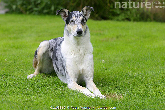 Domestic dog, blue merle Smooth Collie  ,  DOGS,LYING DOWN,OUTDOORS,PASTORAL,PEDIGREE,PETS,VERTEBRATES,Canids  ,  Petra Wegner