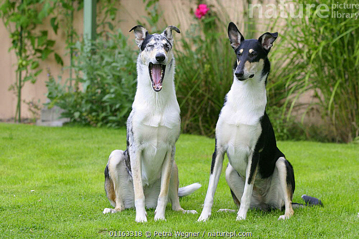 Domestic dogs, blue merle Smooth Collie yawning next to tricolour Smooth Collie  ,  DOGS,FRIENDS,OUTDOORS,PASTORAL,PEDIGREE,PETS,SITTING,STANDING,TRICOLOR,VERTEBRATES,Canids  ,  Petra Wegner