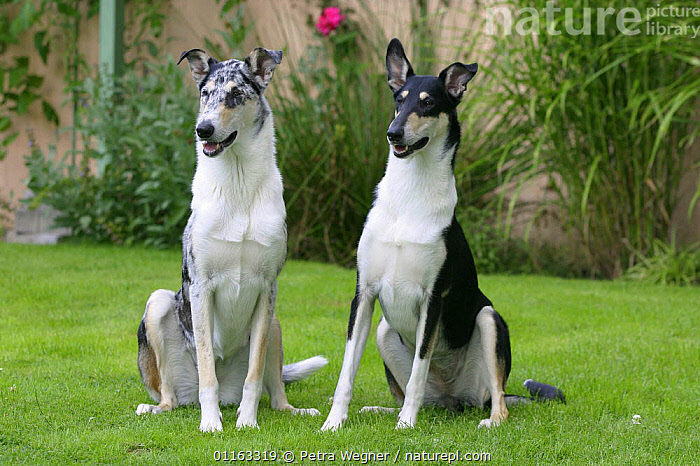 Domestic dogs, blue merle and tricolor Smooth Collies  ,  DOGS,FRIENDS,OUTDOORS,PASTORAL,PEDIGREE,PETS,SITTING,STANDING,VERTEBRATES,Canids  ,  Petra Wegner