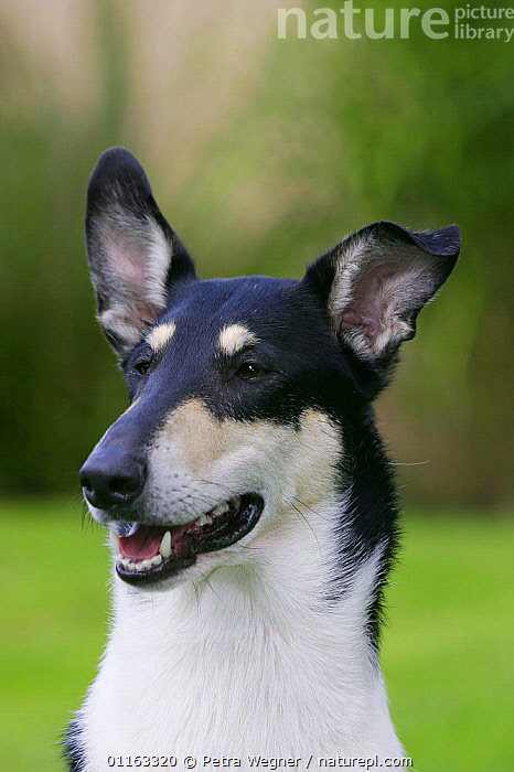 Domestic dog, tricolor Smooth Collie  ,  DOGS,FACES,HEADS,OUTDOORS,PASTORAL,PEDIGREE,PETS,TRICOLOUR,VERTEBRATES,VERTICAL,Canids  ,  Petra Wegner