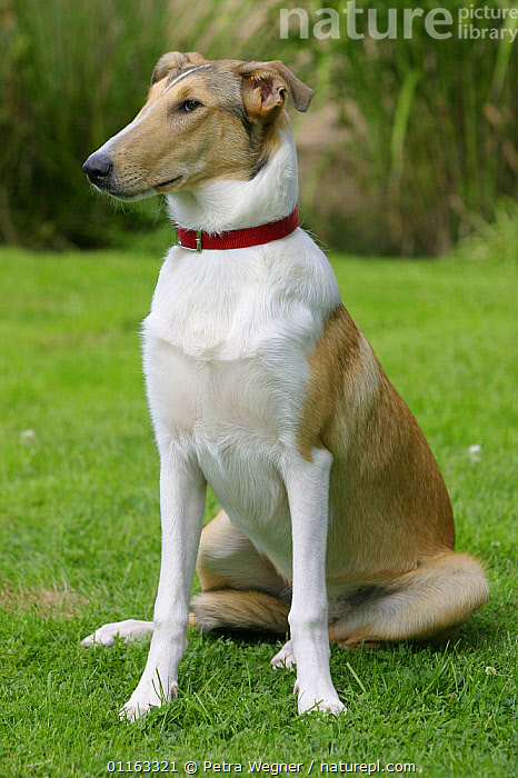 Domestic dog, sable and white Smooth Collie  ,  DOGS,OUTDOORS,PASTORAL,PEDIGREE,PETS,SITTING,STANDING,VERTEBRATES,VERTICAL,Canids  ,  Petra Wegner