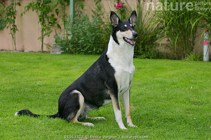 Domestic dog, tricolor Smooth Collie  ,  DOGS,OUTDOORS,PASTORAL,PEDIGREE,PETS,SITTING,STANDING,VERTEBRATES,Canids  ,  Petra Wegner