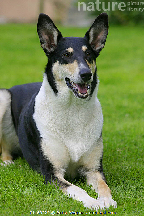 Domestic dog, tricolor Smooth Collie  ,  DOGS,LYING DOWN,OUTDOORS,PASTORAL,PEDIGREE,PETS,VERTEBRATES,VERTICAL,Canids  ,  Petra Wegner