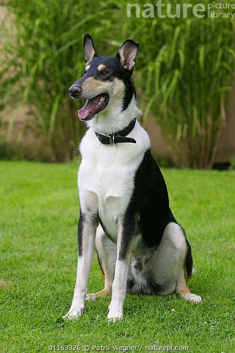 Domestic dog, tricolor Smooth Collie  ,  DOGS,OUTDOORS,PASTORAL,PEDIGREE,PETS,VERTEBRATES,VERTICAL,Canids  ,  Petra Wegner