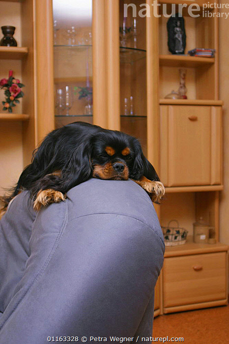 Domestic dog, Cavalier King Charles Spaniel (black and tan) on easy chair  ,  CUTE,DOGS,LAZY,LYING DOWN,PEDIGREE,PETS,SLEEPING,TOY DOGS,VERTEBRATES,VERTICAL,Canids  ,  Petra Wegner