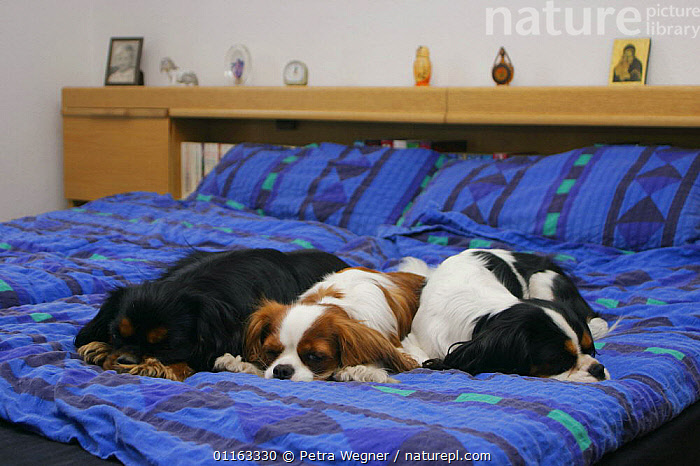 Domestic dogs, three Cavalier King Charles Spaniels sleeping on bed  ,  CUTE,DOGS,LAZY,LYING DOWN,PEDIGREE,PETS,TOY DOGS,VERTEBRATES,Canids  ,  Petra Wegner