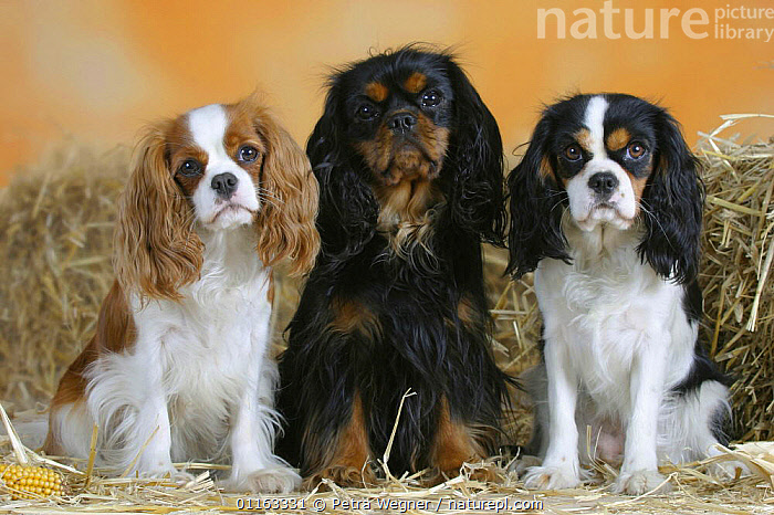 Domestic dogs, three Cavalier King Charles Spaniels (Blenheim, black and tan and tricolor) sitting in a line  ,  COLOR,COLOUR,CUTE,DOGS,FRIENDS,PEDIGREE,PETS,ROW,SITTING,STANDING,STUDIO,TOY DOGS,TRICOLOUR,VERTEBRATES,Canids  ,  Petra Wegner