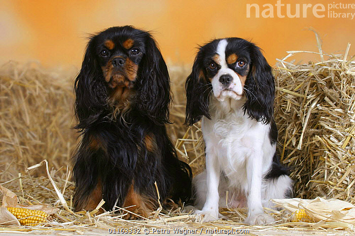 Domestic dogs, two Cavalier King Charles Spaniels (black and tan and tricolor)  ,  COLOR,COLOUR,CUTE,DOGS,FRIENDS,PEDIGREE,PETS,SITTING,STANDING,STUDIO,TOY DOGS,TRICOLOUR,VERTEBRATES,Canids  ,  Petra Wegner
