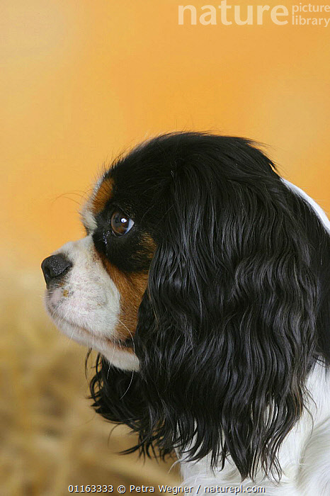 Domestic dog, Cavalier King Charles Spaniel profile (tricolor)  ,  CUTE,DOGS,FACES,HEADS,PEDIGREE,PETS,STUDIO,TOY DOGS,VERTEBRATES,VERTICAL,Canids  ,  Petra Wegner