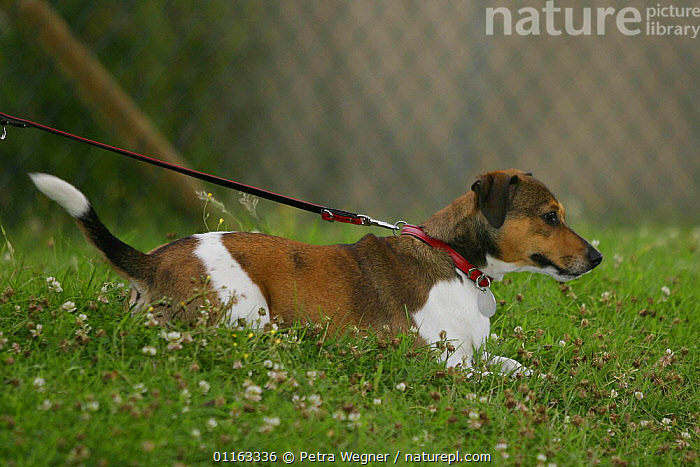 Domestic dog, Jack Russell Terrier on lead  ,  COLLAR,DOGS,OUTDOORS,PARSON,PEDIGREE,PETS,TERRIERS,VERTEBRATES,Canids  ,  Petra Wegner
