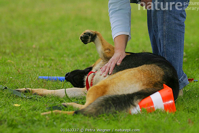 domestic dog, German Shepherd / Alsatian being stroked /  ,  AFFECTIONATE,DOGS,LYING DOWN,OUTDOORS,PASTORAL,PEDIGREE,PEOPLE,PETS,VERTEBRATES,concepts,Canids  ,  Petra Wegner