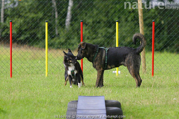 Domestic dogs, Mixed Breed Dog in harness sniffing Sheltie / Shetland Sheepdog in front of slalom  ,  AGILITY,ASSAULT COURSE,DOGS,HALF BREED,MONGREL,MUTT,OUTDOORS,PASTORAL,PEDIGREE,PETS,TRAINING,TRAINING COURSE,VERTEBRATES,Canids  ,  Petra Wegner