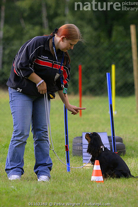 Woman telling Cavalier King Charles Spaniel to sit and stay.  ,  AGILITY,ASSAULT COURSE,DOGS,OBEDIENCE,OUTDOORS,PEDIGREE,PEOPLE,PETS,SITTING,STANDING,TOY DOGS,TRAINING,TRAINING COURSE,VERTEBRATES,VERTICAL,Canids  ,  Petra Wegner