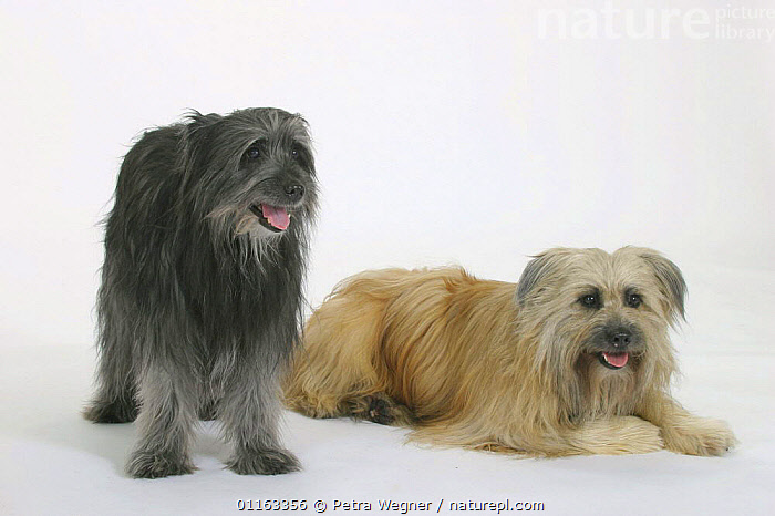 Domestic dogs, two Pyrenean Shepherds / Berger des Pyrenees (Dark grey and fawn)  ,  COLOR,COLOUR,CUTOUT,DOGS,FRIENDS,LYING DOWN,PAIR,PANTING,PASTORAL,PEDIGREE,PETS,STANDING,STUDIO,VERTEBRATES,Canids  ,  Petra Wegner