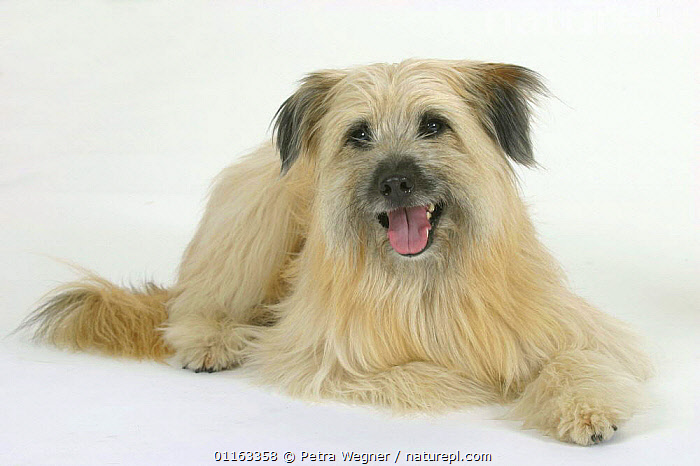 Domestic dog, fawn Pyrenean Shepherd / Berger des Pyrenees  ,  CUTE,CUTOUT,DOGS,LYING DOWN,PANTING,PASTORAL,PEDIGREE,PETS,STUDIO,VERTEBRATES,Canids  ,  Petra Wegner
