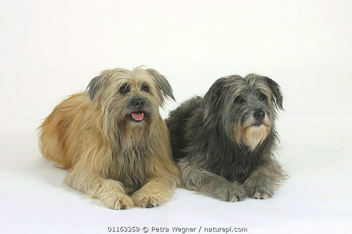 Domestic dogs, two Pyrenean Shepherds / Berger des Pyrenees (Grey and Fawn)  ,  CUTOUT,DOGS,FRIENDS,LYING DOWN,PASTORAL,PEDIGREE,PETS,STUDIO,VERTEBRATES,Canids  ,  Petra Wegner