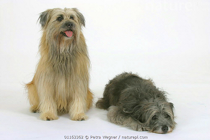 Domestic dog, Pyrenean Shepherds / Berger des Pyrenees (grey and fawn)  ,  COLOR,COLOUR,CUTE,CUTOUT,DOGS,FRIENDS,LYING DOWN,PAIR,PANTING,PASTORAL,PEDIGREE,PETS,SITTING,STUDIO,VERTEBRATES,Canids  ,  Petra Wegner