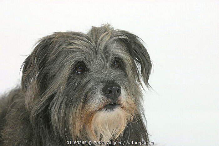 Domestic dog, Pyrenean Shepherd / Berger des Pyrenees  ,  CUTE,CUTOUT,DOGS,FACES,PASTORAL,PEDIGREE,PETS,STUDIO,VERTEBRATES,Canids  ,  Petra Wegner