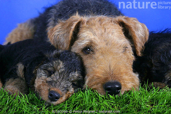 Domestic dogs, Welsh Terrier with 7 week old puppy  ,  BABIES,BABY,CUTE,DOGS,FAMILIES,JUVENILE,LYING DOWN,PEDIGREE,PETS,PUPPIES,STUDIO,TERRIERS,VERTEBRATES,Canids  ,  Petra Wegner