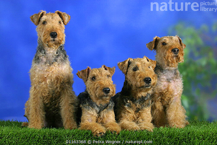 Domestic dogs, four Welsh Terriers in a line  ,  CUTE,DOGS,GROUPS,PEDIGREE,PETS,ROW,SITTING,STUDIO,TERRIERS,VERTEBRATES,Canids  ,  Petra Wegner