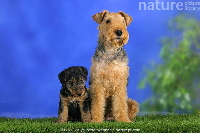 Domestic dog, Welsh Terrier with puppy, 7 weeks old  ,  BABIES,BABY,CUTE,DOGS,FAMILIES,JUVENILE,PEDIGREE,PETS,PUPPIES,PUPPY,SITTING,STUDIO,TERRIERS,VERTEBRATES,Canids  ,  Petra Wegner