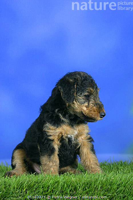 Domestic dog, Welsh Terrier puppy, 7 weeks old  ,  BABIES,BABY,CUTE,DOGS,JUVENILE,PEDIGREE,PETS,PROFILE,PUPPIES,PUPPY,SITTING,STUDIO,TERRIERS,VERTEBRATES,VERTICAL,Canids  ,  Petra Wegner