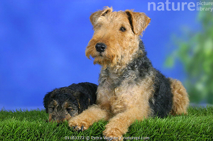 Domestic dog, Welsh Terrier with sleeping puppy, 7 weeks  ,  BABIES,BABY,CUTE,DOGS,FAMILIES,JUVENILE,LYING DOWN,PEDIGREE,PETS,PUPPIES,PUPPY,STUDIO,TERRIERS,VERTEBRATES,Canids  ,  Petra Wegner