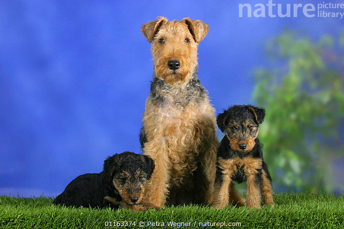 Domestic dog, Welsh Terrier with two puppies, 7 weeks old  ,  BABIES,BABY,CUTE,DOGS,FAMILIES,JUVENILE,PEDIGREE,PETS,PUPPIES,PUPPY,STUDIO,TERRIERS,VERTEBRATES,Canids  ,  Petra Wegner