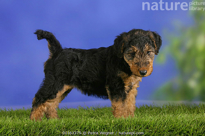 Domestic dog, Welsh Terrier puppy, 7 weeks old  ,  BABIES,BABY,CUTE,DOGS,JUVENILE,PEDIGREE,PETS,PUPPIES,PUPPY,STUDIO,TERRIERS,VERTEBRATES,Canids  ,  Petra Wegner